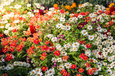 veronica flower: Many colourful daisies in garden Stock Photo