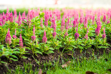 pink Celosia argentea in the graden, closeup photo