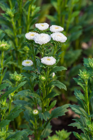 white blossom Chrysanthemum in the garden photo