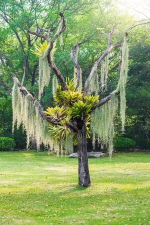 threadlike: Spanish moss hang on dry tree in the park