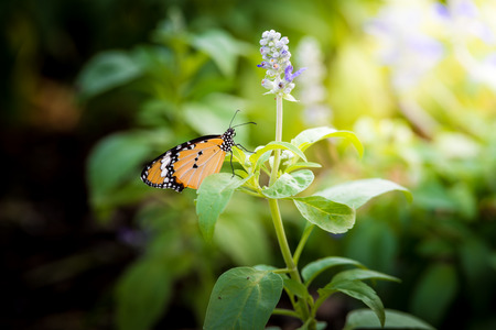 salvia: butterfly and Meadow with blooming Blue Salvia herbal flowers. Blue Salvia is plant in the mint family