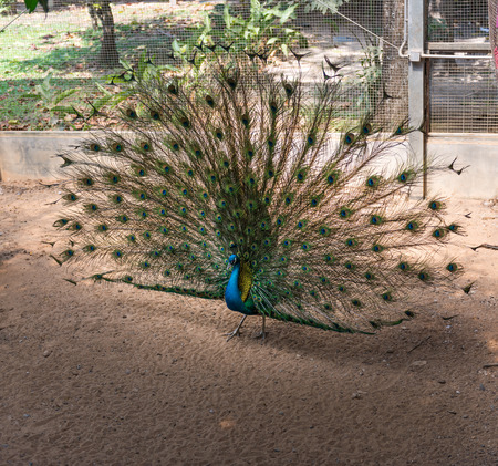 fanned: Beautiful indian peacock with fully fanned tail