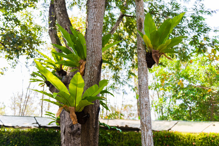 polypodiaceae: Birds nest fern on the tree