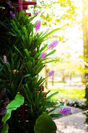 aechmea: Pink purple bromeliad flower in bloom in springtime (Aechmea gamosepala, Bromeliaceae)