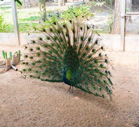 plummage: Beautiful indian peacock with fully fanned tail