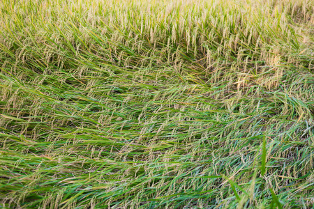 strong wind: rice plant falling down because of strong wind Stock Photo