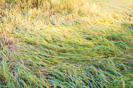 wind down: rice plant falling down because of strong wind Stock Photo