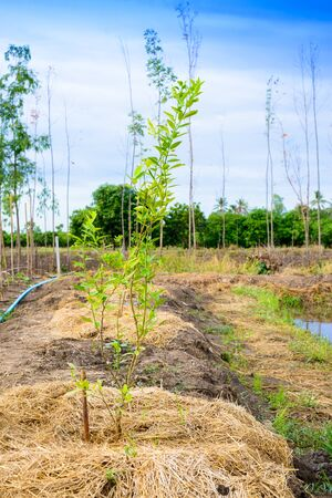 plantar �rbol: Lime tree planting in the field