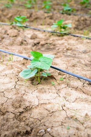 irrigation field: cucumber field growing with drip irrigation system in the countryside Stock Photo