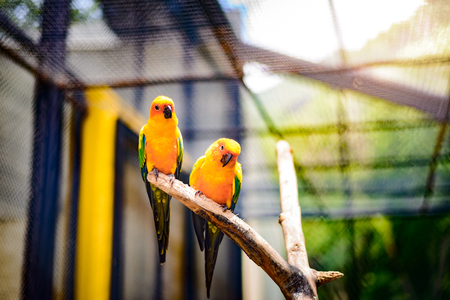 native bird: Beautiful colorful parrot, Sun Conure (Aratinga solstitialis), golden-yellow plumage and orange-flushed underparts and face, native bird to northeastern South America