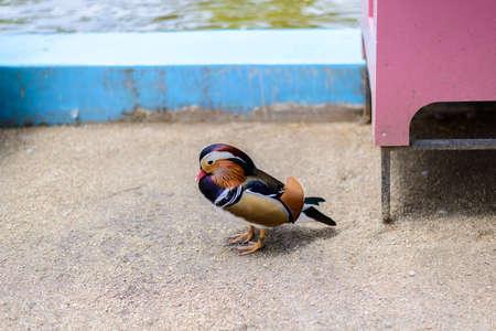 aix galericulata: male mandarin duck (Aix galericulata) standing