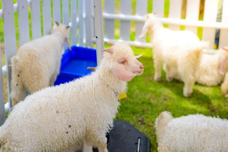 hircus: Baby White angora goat (Capra aegagrus hircus) in the stall Stock Photo