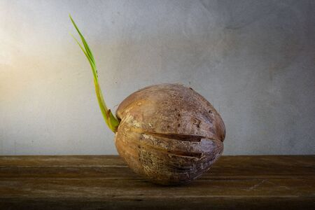 coconut seedlings: Sprout of coconut tree on wooden background