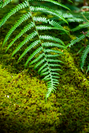 chlorophyl: Fern leaf and mos in the rainforest closeup Stock Photo