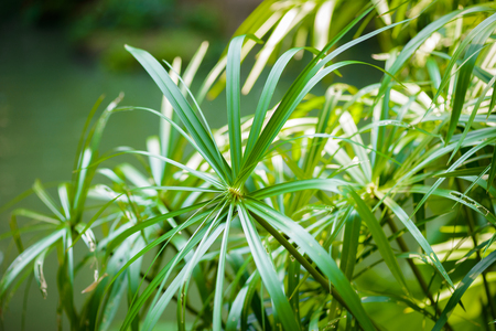 ancient papyrus: Tropical view. papyrus plants closeup Stock Photo