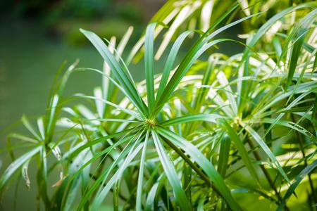 papyrus: Tropical view. papyrus plants closeup Stock Photo