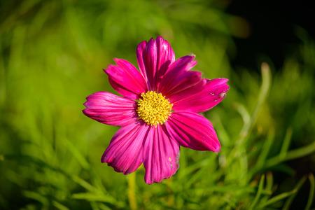 sulfur: close up sulfur Cosmos Flower