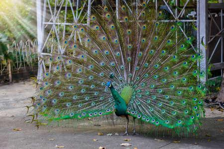 peafowl: Male Indian peacock ( Pavo cristatus ) peafowl