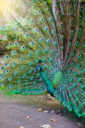 pavo  cristatus: Male Indian peacock ( Pavo cristatus ) peafowl