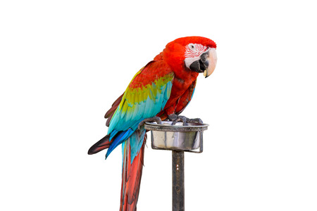 green winged macaw: Colorful Red-and-green Macaw bird isolated on white background