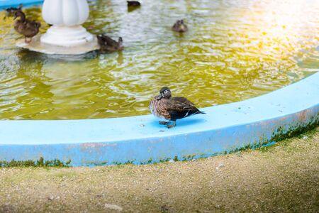palmate: male mandarin duck (Aix galericulata) swimming