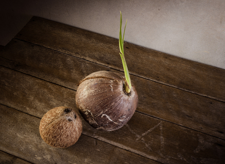 coconut seedlings: Sprout of coconut tree and Coconut peeledon wooden background