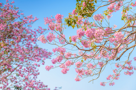 rosy: Tabebuia rosea is a Pink Flower neotropical tree and blue sky. common name Pink trumpet tree, Pink poui, Pink tecoma, Rosy trumpet tree, Basant rani