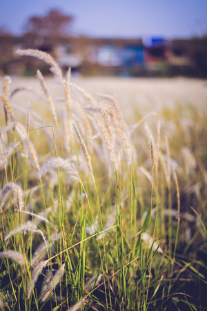 imperata: Imperata cylindrica Beauv of Feather grass in nature. Color Tone in retro style Stock Photo