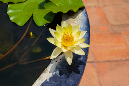 nenuphar: beautiful yellow lotus  in the tub Stock Photo