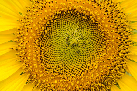 helianthus: close-up of a beautiful sunflower in nature