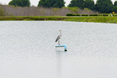 gray herons: Portrait of Grey Heron on the side of a lake