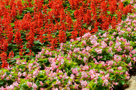 snapdragon: Pretty coral pink flowers, Numerous bright flowers of tuberous begonias (Begonia tuberhybrida) and Snapdragon in garden Stock Photo