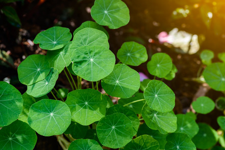 longevity: siatic Pennywort, is a plant that indicated in the treatment of diseases, nature