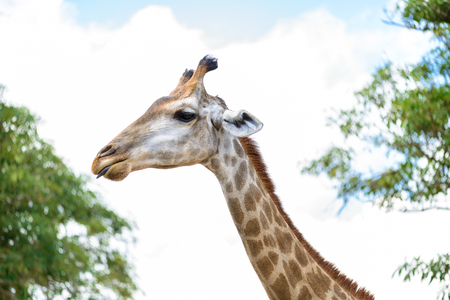 extant: closeup long neck of giraffe head.  is an African even-toed ungulate mammal, the tallest of all extant land-living animal species, and the largest ruminant. Stock Photo