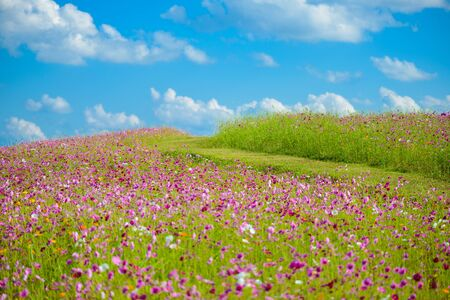 domain: Cosmos flower in field and blue sky