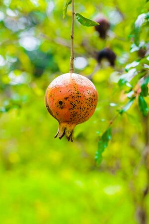 Punica granatum Diseased, Rotten pomegranate on the tree
