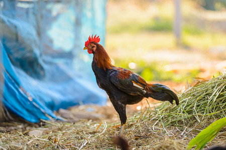 fighting cock: Colorful rooster or fighting cock in the farm. Cock - Rooster, symbol of New 2017 - according to Chinese calendar. The rural scene on sunny day