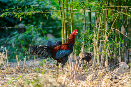 Colorful rooster or fighting cock in the farm. Cock - Rooster, symbol of New 2017 - according to Chinese calendar. The rural scene on sunny day