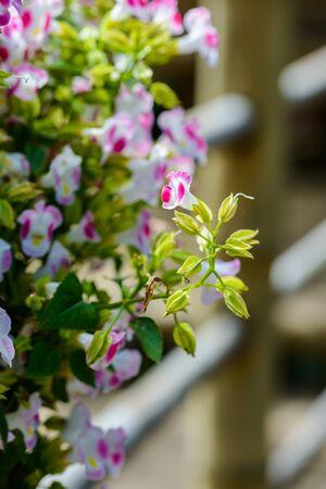Purple flowers, Asystasia gangetica flowers in the garden Stock Photo