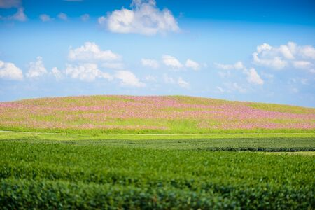 Cosmos Fields and Green tea field, , Tea Plantation with blue sky at Chiangrai,  Thailand