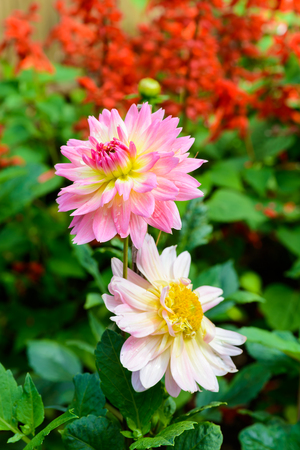 full bloom closeup Beautiful Dahlia flowers in the garden Stock Photo