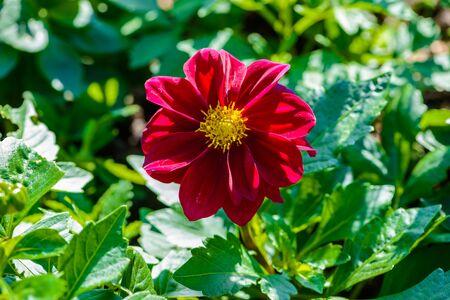 Tithonia rotundifolia red in the garden Stock Photo