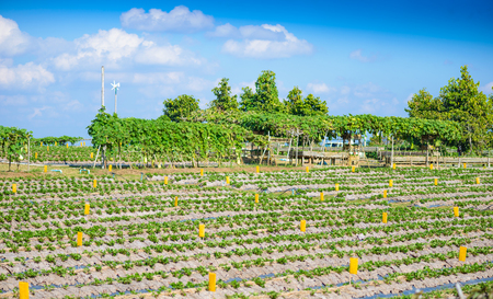 increase fruit: Strawberry cultivation, partially covered with frost protection fleece, Strawberry plantation, Fruit growing