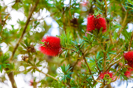 Red flowers of bottle brush tree (Callistemon)