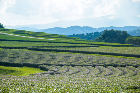Green tea field, , Tea Plantation with blue sky at Chiangrai,  Thailand