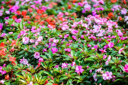 lizzie: Impatiens Walleriana Sultanii Busy Lizzie Flowers, Large Detailed , Magenta, Purple, Red, Pink, Divine New Guinea Balsam Sultana, Balsamina Balsaminaceae Flowering Plant Bed Stock Photo