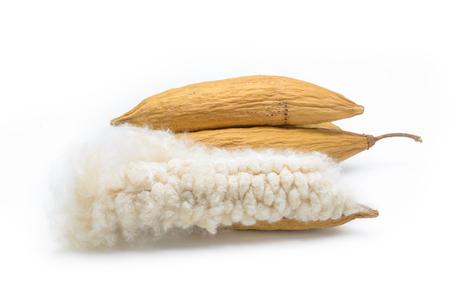 l hand: Kapok, Ceiba pentandra or White silk cotton tree( Ceiba pentandra (L.) Gaertn. Wong) Bombacaceae. kapok seeds with white fiber for making pillow isolated on white background