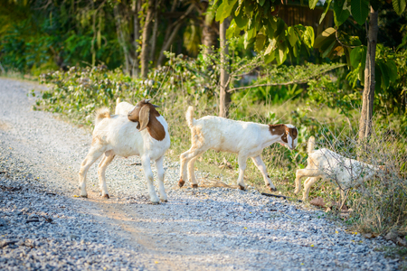 baby goat: Goat portrait on the road in farm Stock Photo