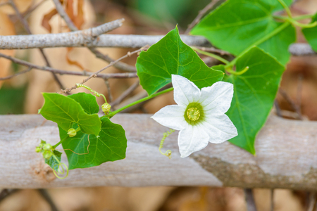 Flower Ivy Gourd or Coccinia grandis in nature Stock Photo