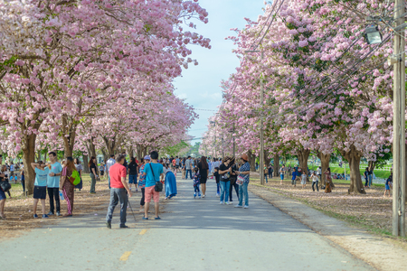 nakhon pathom: Tourists and photographers travel. Tabebuia rosea is a Pink Flower neotropical tree. common name Pink trumpet tree, Pink poui, Pink tecoma, Rosy trumpet tree, Basant rani in Nakhon Pathom, Kamphaeng Saen, Thailand on April 16, 2017 Editorial